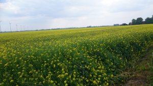 Rapsfeld blühend im Mai